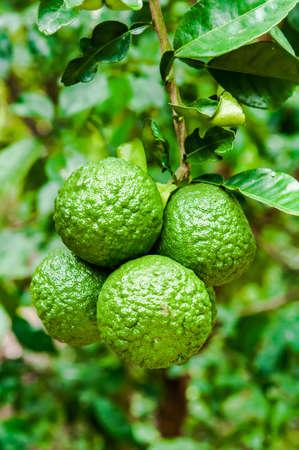 citrus aurantium: Citrus aurantium var. aurantium, Bouquetier, Sour orange, Bitter orange, Seville orange,Bigarade