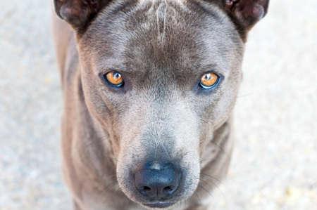 nose close up: Close up dog face (Focus at nose), Dog native of Thailand
