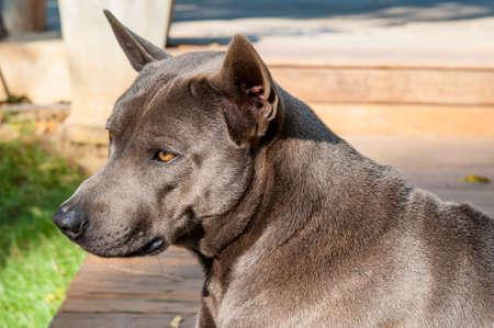 ridgeback: Thai Ridgeback dog Stock Photo