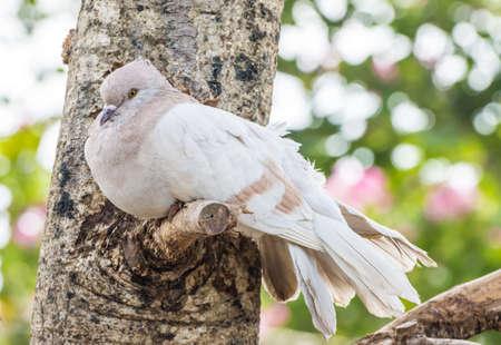 Pigeon bird are sick on tree branch Stock Photo