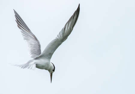 Bird in flight, Black-naped Tern flying in the sky in Thailand (space for text)