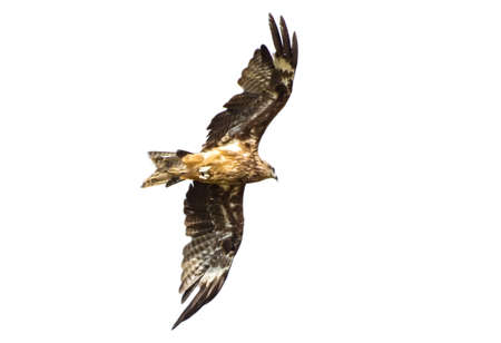 Black kite (Milvus migrans) isolated on white background flying in blue Sky in Thailand Stock Photo