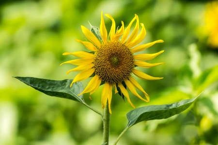 Sun flower on a nature blurred background