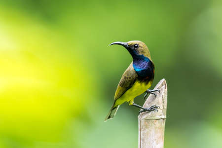 Olive-backed sunbird in the nature, Thailand