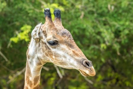 Close up face of giraffe and green tree background Stock Photo