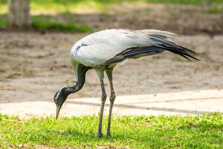 Demoiselle Crane (Anthropoides virgo) bird eating on grass
