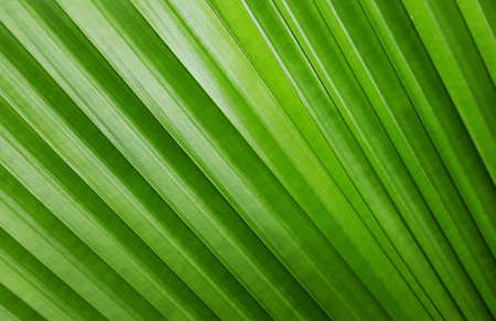 Close up texture of green palm leaf for background
