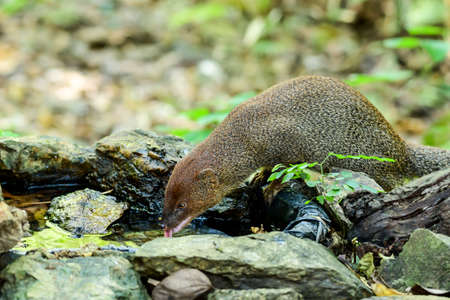 Small asian mongoose eating water in the pond