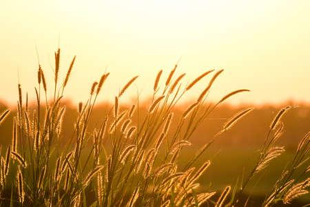 Grass field and golden sunset light background