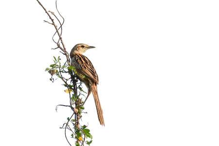 Striated Grassbird (Megalurus palustris) perching on tree,  Thailand