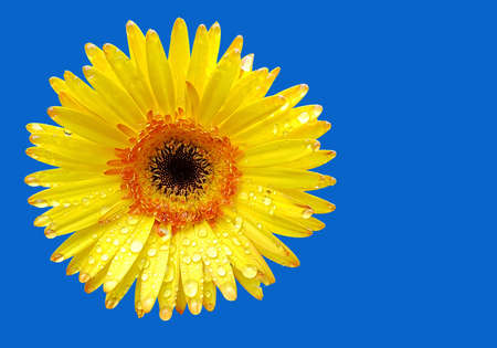 Fresh yellow gerbera flower on blue background with space for text Stock Photo