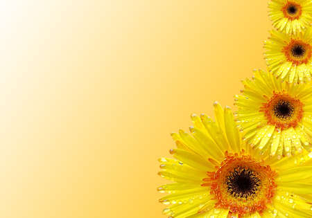 Fresh yellow gerberas flower on  background with space for text