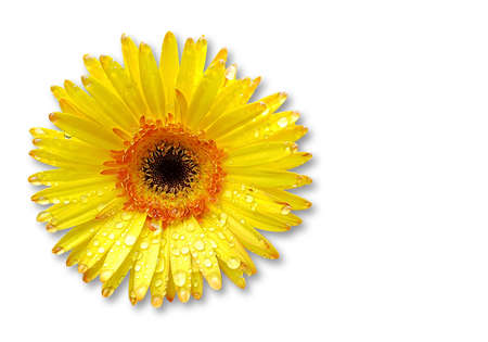 Fresh yellow gerberas flower on white  background with space for text Stock Photo