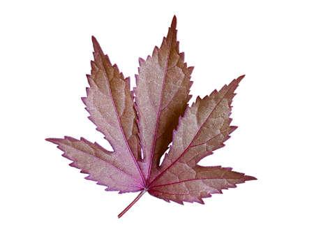 Acer Japanese Maple leave isolated on white background