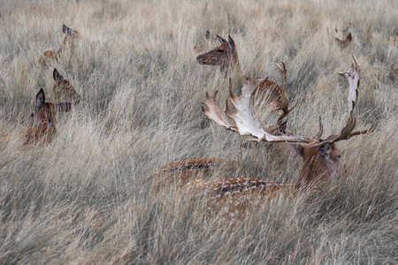 resting: Wild deer resting