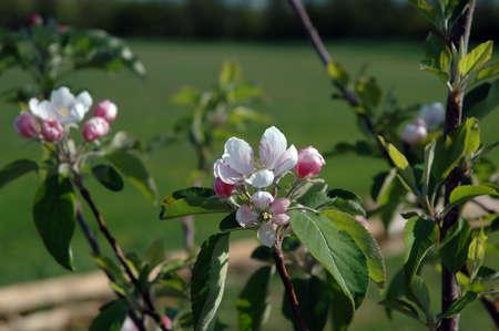 rose bowl parade: start of apple season in full bloom