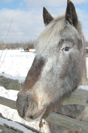 blanket horse: old gray mare