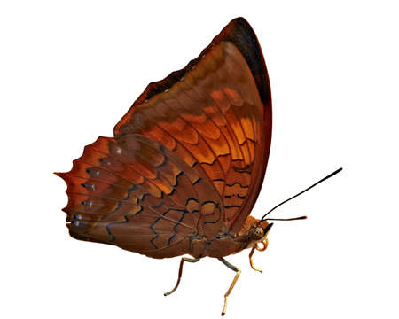 rajah: Insecto macro, Laos, C�RABO RAJAH (CHARAXES BERNARDUS CREPAX)