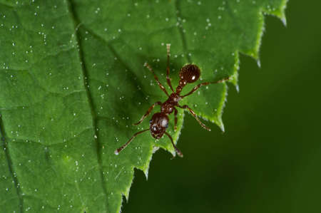 formicidae: Ants are social insects of the family Formicidae, and along with the related wasps and bees, they belong to the order Hymenoptera.