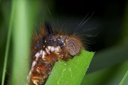 lepidoptera: Caterpillars are the larval form of a member of the order Lepidoptera (the insect order comprising butterflies and moths). They are mostly phytophagous in food habit, with some species being entomophagous. Stock Photo