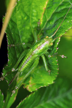 distinguish: The grasshopper is an insect of the suborder Caelifera in the order Orthoptera. To distinguish it from bush crickets or katydids, it is sometimes referred to as short-horned grasshoppers. Species that change colour and behaviour at high population densiti Stock Photo