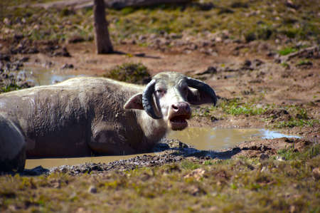 buffalo grass: The water buffalo or domestic Asian water buffalo (Bubalus bubalis) is a large bovine animal, frequently used as livestock in southern Asia, and also widely in South America, southern Europe, north Africa, and elsewhere.