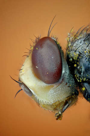 micrograph: Micrograph of the head of a fly made with the technique of stacking