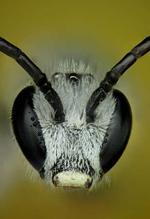 micrograph: Micrograph of the head of a bee made with the technique of stacking