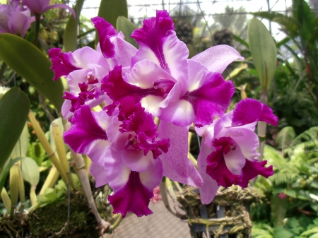widespread: The Orchid flower in the greenhouse  Chonburi, Thailand, 2012  The Orchidaceae or orchid family is a diverse and widespread family of flowering plants with colorful and fragrant blooms  Stock Photo