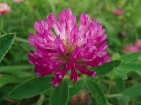 Trifolium pratense (red clover) is a species of clover, native to Europe, Western Asia and northwest Africa photo