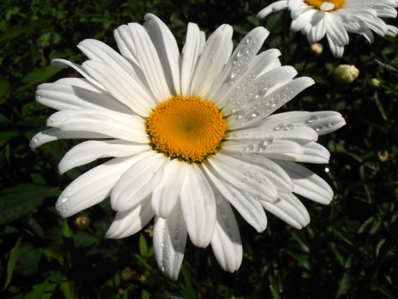 Leucanthemum vulgare  Widespread flowering plant native to Europe and the temperate regions of Asia  photo