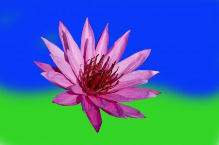 Pink Lotus on Blue-Green Background. Nimphaea. Samosir Island North Sumatra, Indonesia. photo