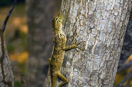 etude: Etude in Brown Shades. Lizard on Tree, Binh Thuan province of Vietnam.