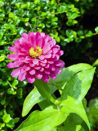 georgina: Georgina is a genus of bushy, tuberous, herbaceous perennial plants.