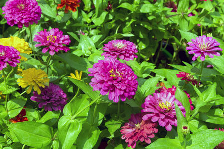 perennial: Dahlia is a genus of bushy, tuberous, herbaceous perennial plants. Stock Photo