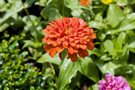 tuberous: Orange Dahlia is a genus of bushy, tuberous, herbaceous perennial plants.