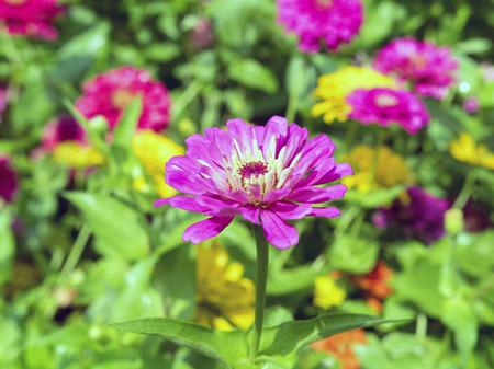 herbaceous: Pink Dahlia is a genus of bushy, tuberous, herbaceous perennial plants.