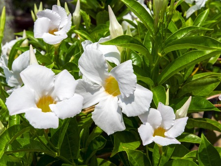 apocynaceae: Allamanda is a genus of flowering plants in the dogbane family, Apocynaceae. Stock Photo