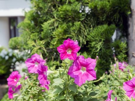 plants species: Petunia � genere di 35 specie vegetali di origine sudamericana fioritura.