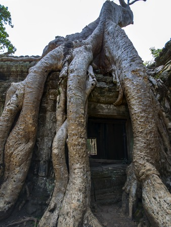 Prasat Ta Prum, Roots. Siem Reap Province of Cambodia. photo