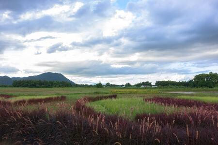 red grass: Red Grass Landscape near Mekok River