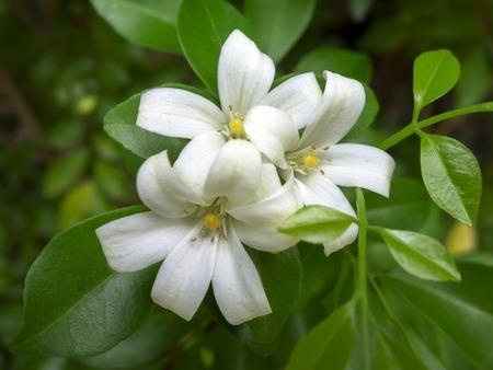 jessamine: Murraya paniculata, comunemente chiamato Arancione Jessamine, è una tropicale, pianta sempreverde a Chiang Rai