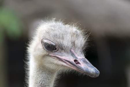 ratite: Common Ostrich Female Foreface. Struthio Camelus is either one or two species of large flightless birds native to Africa. Stock Photo