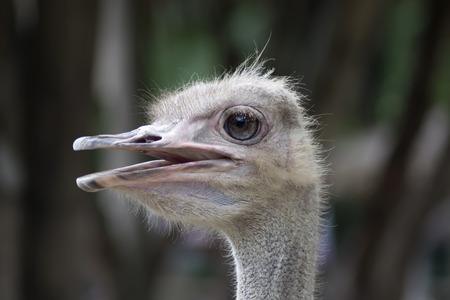 struthio camelus: Common Ostrich Female Head. Struthio Camelus is either one or two species of large flightless birds native to Africa.