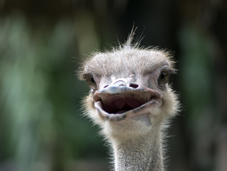 Common Ostrich Foreface. Struthio Camelus is either one or two species of large flightless birds native to Africa. photo