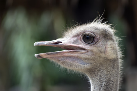 struthio camelus: Common Ostrich Head Profile. Struthio Camelus is either one or two species of large flightless birds native to Africa.