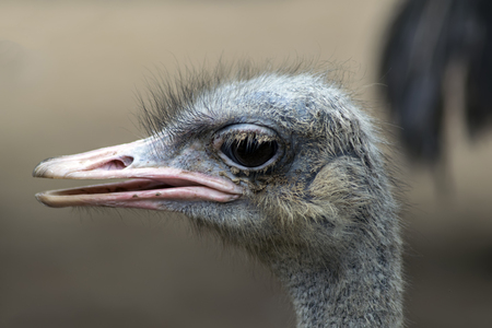 ratite: Common Ostrich Head. Struthio Camelus is either one or two species of large flightless birds native to Africa.