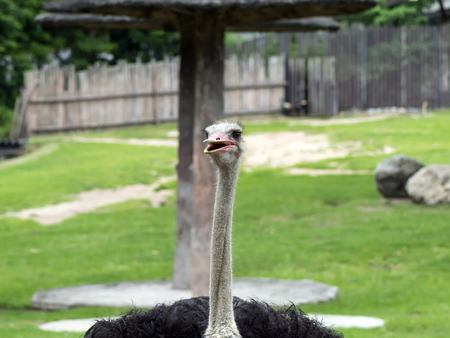 struthio camelus: Common Ostrich. Struthio Camelus is either one or two species of large flightless birds native to Africa.