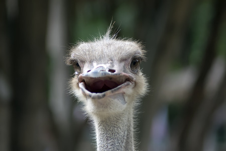 ratite: Head of Happy Common Ostrich. Struthio Camelus is either one or two species of large flightless birds native to Africa.