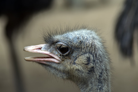 struthio camelus: Listening Common Ostrich. Struthio Camelus is either one or two species of large flightless birds native to Africa.